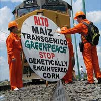 Greenpeace protest against GM corn