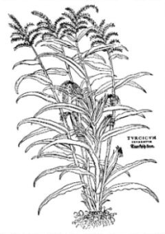 Turkish corn from Fuchs' De Historia Stirpium; Basle 1542