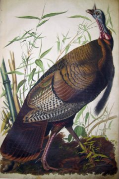 Wild Turkey, Meleagris gallopavo Painting by John James Audubon, 1830