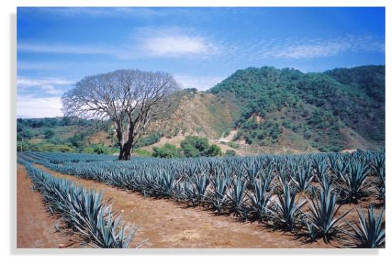 Agave field in Jalisco