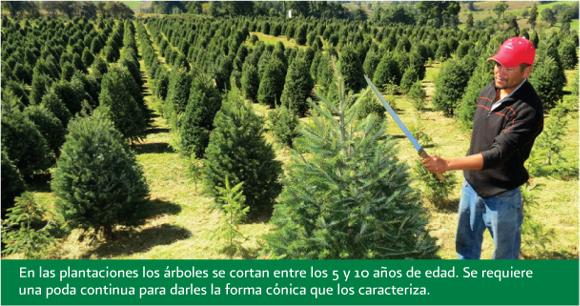 Pruning young Christmas trees in Mexico