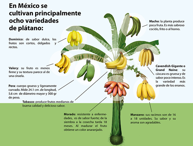 Eight kinds of bananas grown in Mexico